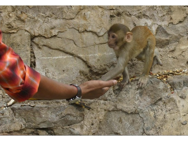 4258733-Feeding_a_baby_monkey_at_Galta_Jaipur