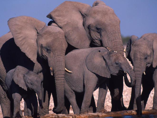 African savanna elephant (Loxodonta africana africana)