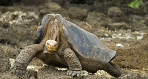 A Pinta Island Giant Galapagos Tortoise (Chelonoidis nigra abingdoni). This individual, known as Lonesome George, died in 2012.