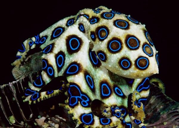 Kékgyűrűs polip